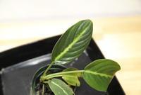 """Schismatoglottis mira """"Bintulu"""" - PlantsCade -2nd effort"""