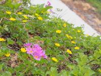 ミチノクコザクラ:岩木山(弘前市)*2017.07.15 - 津軽ジェンヌのcafe日記