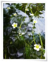 梅花藻 - フーの気まぐれ日記