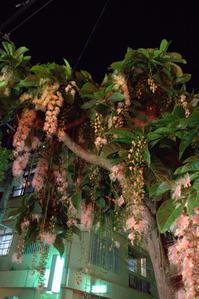栄町に咲くサガリバナ - 京都ときどき沖縄ところにより気まぐれ