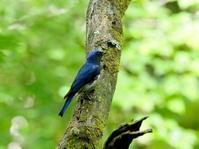 軽井沢のオオルリが近い - コーヒー党の野鳥と自然 パート2