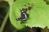 アカマダラ  北海道特産の蝶たち - 蝶のいる風景blog