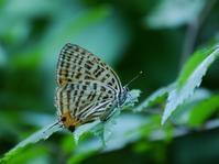加曾利貝塚公園の蝶5種(ウラナミアカシジミやムラサキツバメ、ヒメウラナミジャノメなど) - 花と葉っぱ
