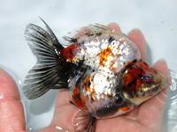 金魚画像掲載致しました。 - フルタニ金魚倶楽部blog