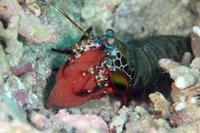 モンハナシャコ卵 - Diving Photo web図鑑