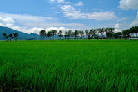 緑の絨毯 - くろちゃんの写真
