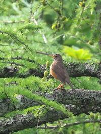 梢で囀るアカハラ - コーヒー党の野鳥と自然 パート2