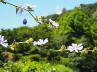 家庭菜園ポタジェでは、チコリの花が見頃です♬ - 神戸布引ハーブ園 ハーブガイド ハーブ花ごよみ
