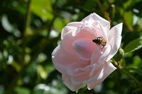 農薬 ネオニコチノイドについて - 薔薇のガーデナー Weekend's+Ladybirds