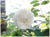 Louise D'Arzens - Gardener*s Diary