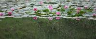 睡蓮沼の水鏡 - 万願寺通信