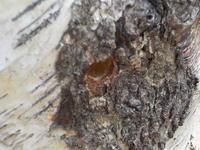 マルハナバチ巣を作る - 冬青窯八ヶ岳便り
