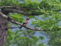戦場ヶ原のカケス - コーヒー党の野鳥と自然 パート2