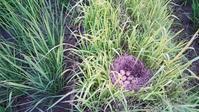 畦草を刈っていたら、カモの卵を見つけました。 - 百笑通信 ブログ版