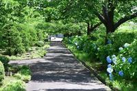 緑化植物園の紫陽花 - ★おたる・スナップ・散歩・・・