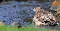オオタカ幼鳥の水浴び - 気まぐれ野鳥写真