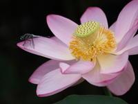 蓮の花 - MPG