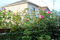 ブルヘッドのその後*ガートルードジェキルの2番花 - my small garden~sugar plum~