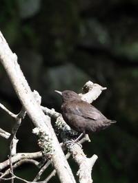 湯川のカワガラス - コーヒー党の野鳥と自然 パート2