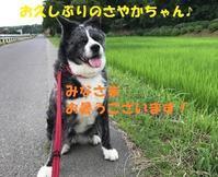 さやかちゃん、近況のご報告♪ - もももの部屋(怖がりで攻撃性の高い秋田犬のタイガ、老犬雑種のベスの共同生活&保護活動の記録です・・・時々お空のモカも登場!)