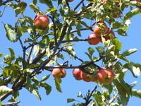 伊丹スカイパークのりんご林【尼伊豊がいい002】 - あそび計画 in Japan