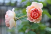 ちょっぴり見直したアブラハムダービー - my small garden~sugar plum~