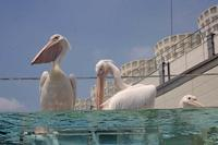 ペリカンとアロワナとカワウソと~サンシャイン水族館・マリンガーデンNEWオープン!!その2 - 続々・動物園ありマス。