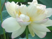 蓮華咲く竜王池1 - はーとらんど写真感