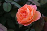 オレンジ色のバラが好き - my small garden~sugar plum~