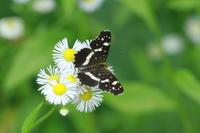 アカマダラ   北海道旅行(千歳市郊外) - 蝶のいる風景blog