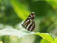 オオミスジ - 風の翅