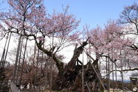 山高神代桜 - 高原に行きたい