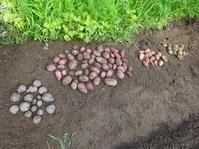 ジャガイモの収穫と秋冬に向けて始動! - 家庭菜園ニストabuさん家の美味あれこれ