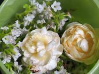 白花ヘリオトロープ・アラビアンジャスミン - やまぼうし