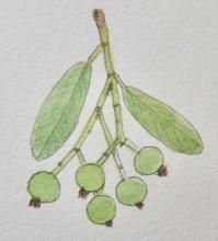 #植物スケッチ 『トキワサンザシ』 - スケッチ感察ノート