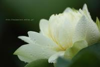 上越市高田公園の蓮と小林古径邸見学 - 野沢温泉とその周辺いろいろ