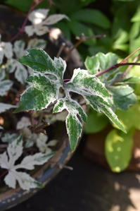 斑入りノブドウエレガンスとヒューケラ - 小さな庭 2