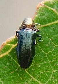 #甲虫『ムネアカチビナカボソタマムシ』 Nalanda rutilicollis - 自然感察 *nature feeling*