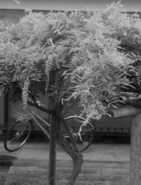 花は本当に咲くの?・・加筆訂正あり - hibariの巣