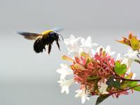 クマバチとアベリア - 『私のデジタル写真眼』