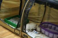 仔猫成長記録   フローラの仔猫4匹  フラワーシリーズ - MINKWIN Cattery &Pretty Aki