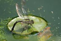 クロスジギンヤンマ - 昆虫(動植物)撮影記録