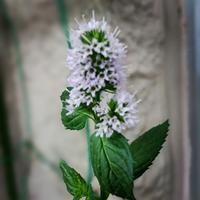 Minty flower - Yoga teacher Atsuko 《Purple lotusflow3r》blog