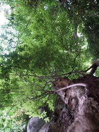 カエデの樹 - hibariの巣