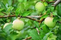 リンゴ食べたい - ひつじweblog
