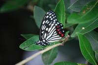 アカボシゴマダラ - 埼玉南部の昆虫等生物観察