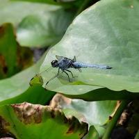 オオシオカラトンボ - 昆虫(動植物)撮影記録