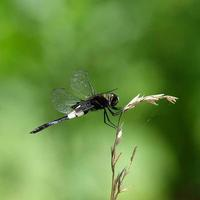 コシアキトンボ - 昆虫(動植物)撮影記録