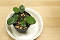"Homalomena terajaensis ""Labi"" - PlantsCade -2nd effort"