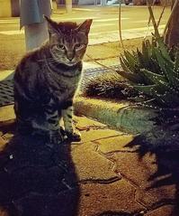 地域猫のキジトラ - キジトラ猫のトラちゃんダイアリー